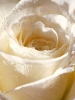Abstract White Rose