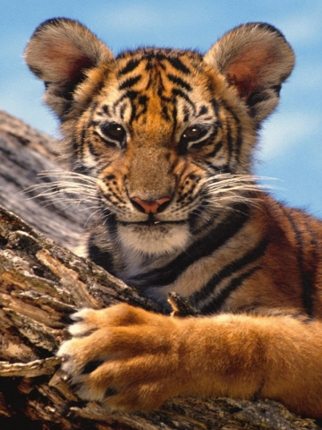 Baby tiger iphone wallpaper - photo#8