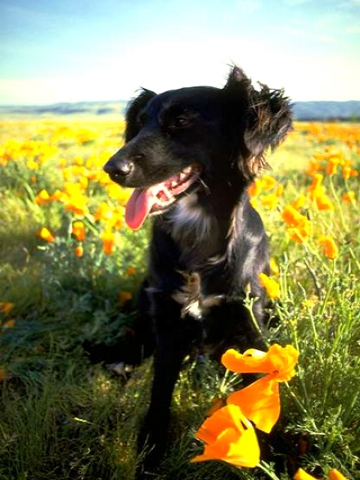Black Lab In Flowers Wallpaper