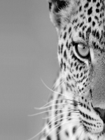 Black and White Cheetah