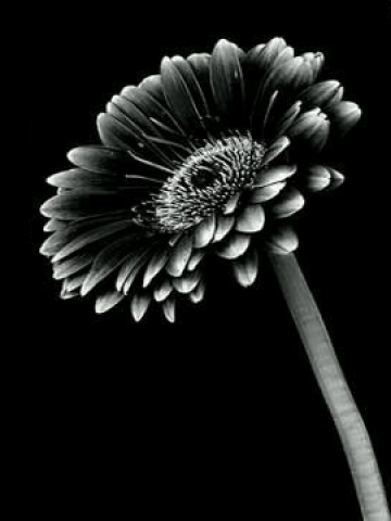 Black And White Sunflower Wallpaper