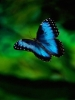 Blue Butteryfly