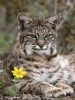 Bobcat with Flower