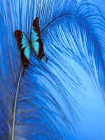Butterfly on Feather