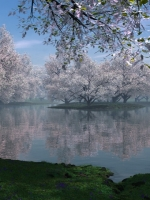 Cherry Blossom Reflection