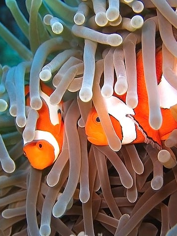 Clown Fish Anemone Wallpaper