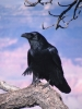 Crow Perched on Branch