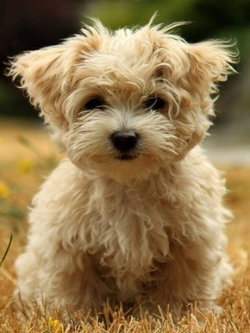 Fluffy Puppy Wallpaper