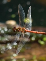 Flying Dragonfly