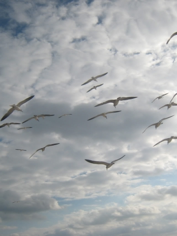 Flying Seagulls Wallpaper