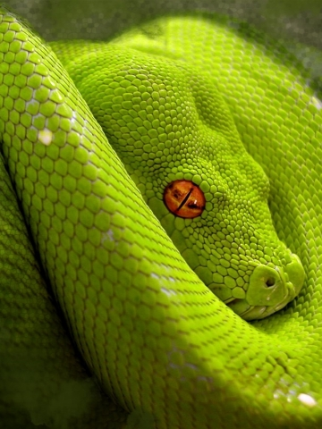 Green Snake Wallpaper