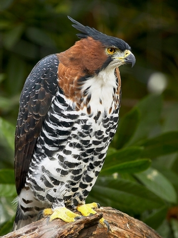 Hawk on perch wallpaper iphone blackberry - Hawk iphone wallpaper ...