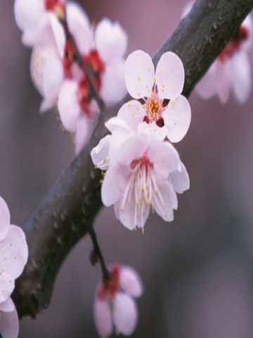 Japanese CherryBlossom Wallpaper