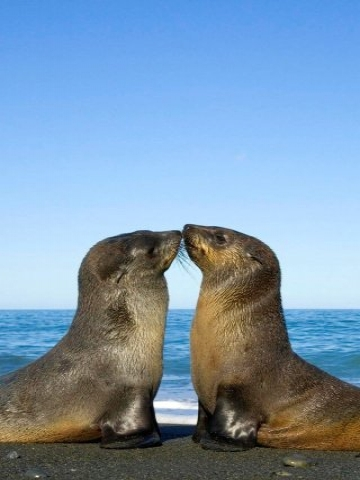 Kissing Sea Lions Wallpaper