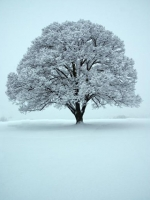 Large Snowy Tree