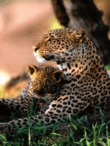 Mama and Baby Leopard Wallpaper