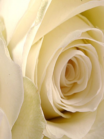 Perfect White Rose Wallpaper