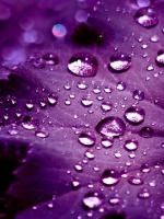 Purple Drops
