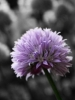 Purple Flower Puff