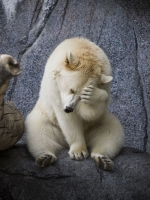 Shy Polar Bear