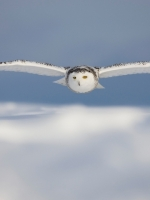 Snow Owl Flying