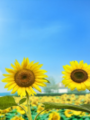 Sun Flowers Wallpaper