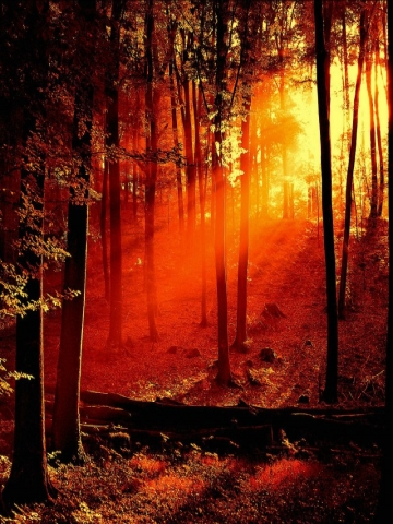Sun in the Forest Wallpaper