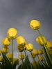 Tulips into Dark Sky