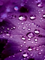 Water Drops On Purple Leaf