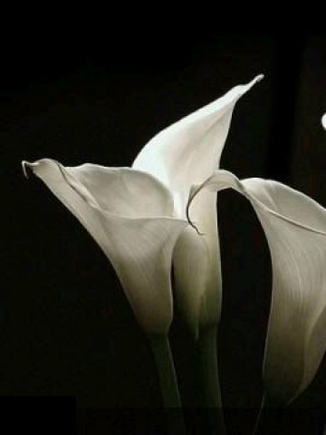 White Calla Lilies Wallpaper