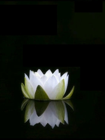 White Flower on Water Wallpaper
