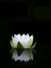 White Flower on Water