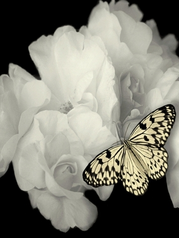 White Roses and Butterfly Wallpaper