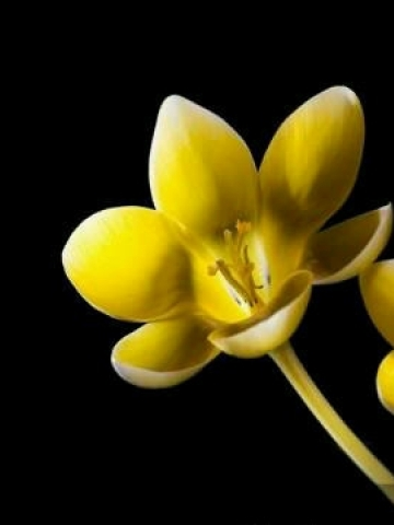 Yellow Flower Picture on Yellow Animated Flower Palm Pre Wallpaper