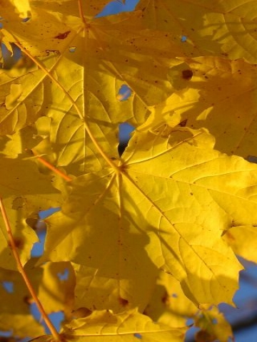 Yellow Fall Leaves Wallpaper