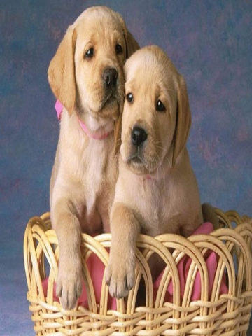 Yellow Lab Puppies Wallpaper