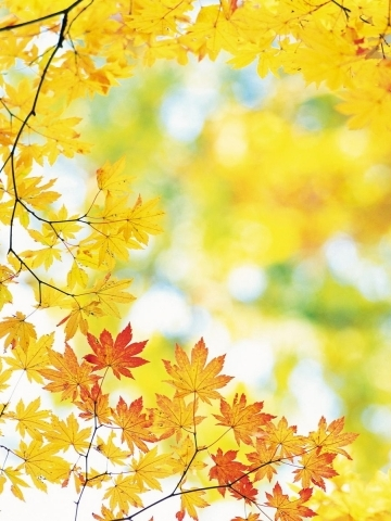 Yellow Maple Leaves Fall Wallpaper
