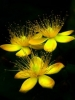 Yellow Star Flowers