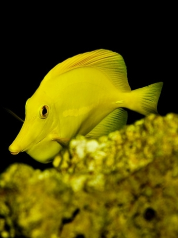 Yellow Tang Wallpaper