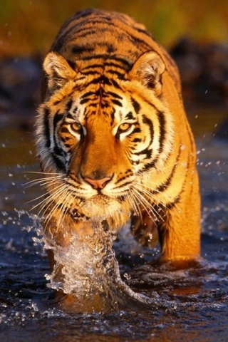Wet Tiger Wallpaper