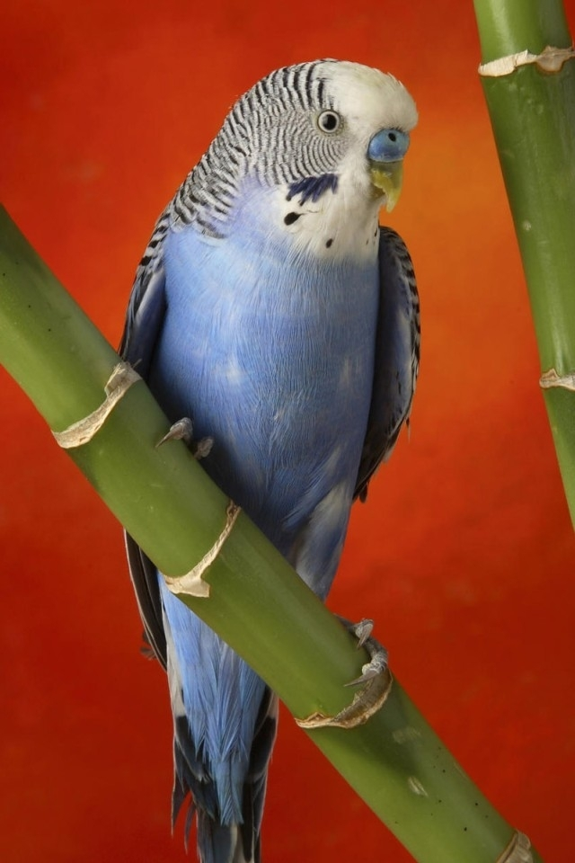 Blue Parakeet Wallpaper