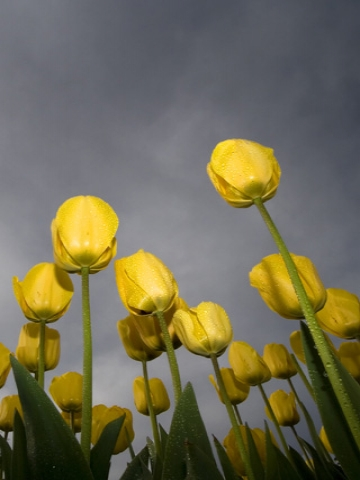 low angle tulips Wallpaper